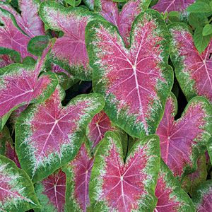 How to grow Caladiums also known as elephant ears.  Some newer varieties can take direct sun (like Gingerl