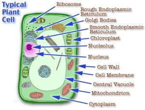 plant cell model |  Cell Model Diagram Project Parts