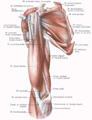 Anterior muscles of the shoulder girdle and arm | muscle anatomy | Pinterest | The shoulder