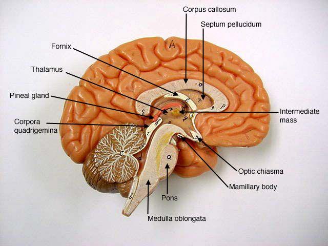 Brain Model AampP3NerveEndocrine Pinterest Models