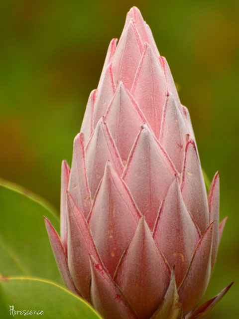 17 Best Images About Indigenous Flowers Of South Africa On