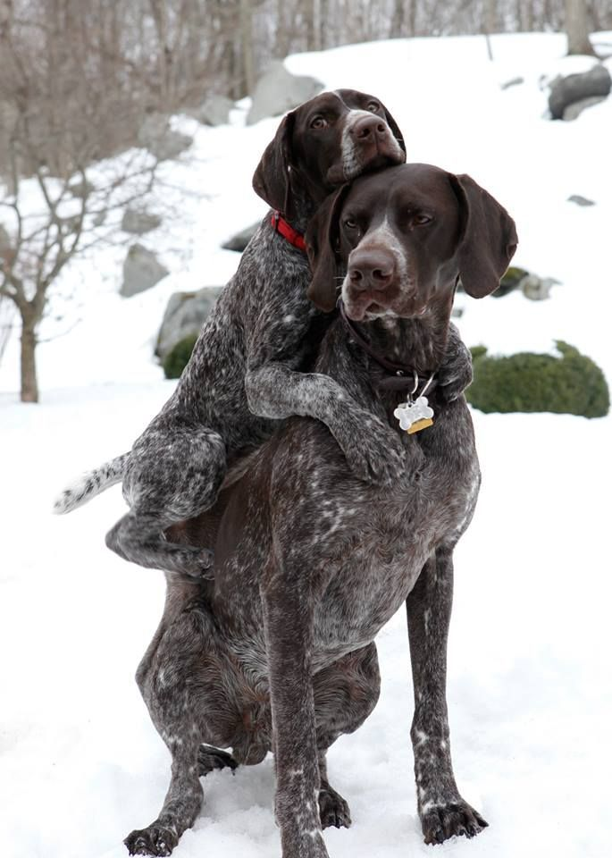101 Best Images About GERMAN SHORT HAIRED POINTER On