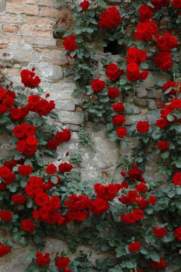 Tenere la pianta pulita, rimuovendo i rami secchi e i fiori danneggiati, sfioriti o marci, eviterà la presenza di molti insetti e aiuterà le rose a concentrare tutta la loro energia vitale nella formazione di nuove gemme