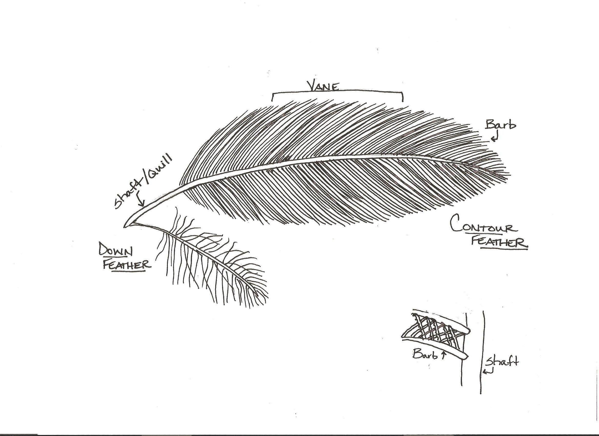 Diagram Of A Bird Feather With Associated Activity