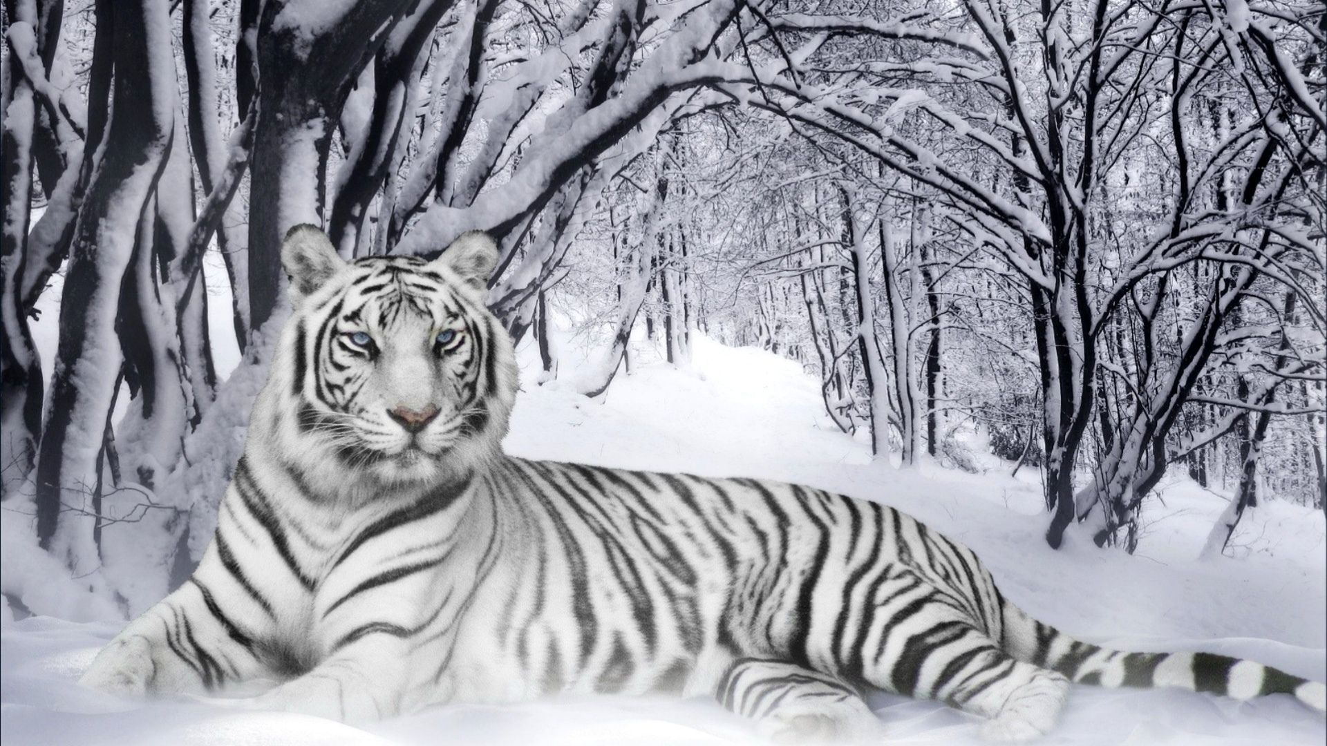 white tiger wallpaper phone | animals wallpapers | pinterest