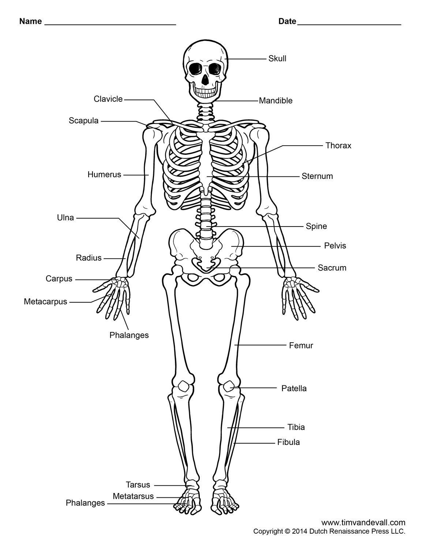 Human Skeleton Labeled