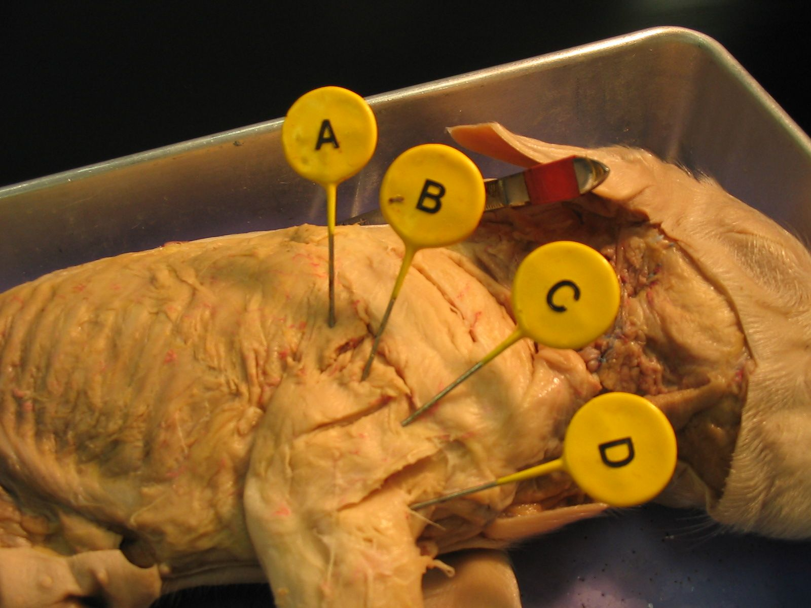 Fetal Pig Muscle Dissection