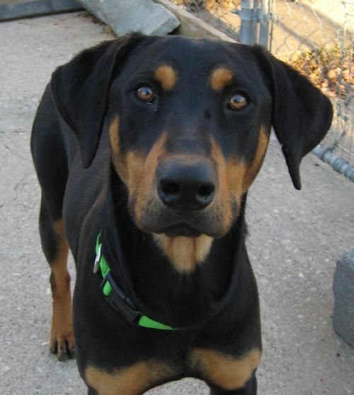 Black And Tan Coonhound Photo Harvey Black And Tan Coonhound Humane Society Of Dallas