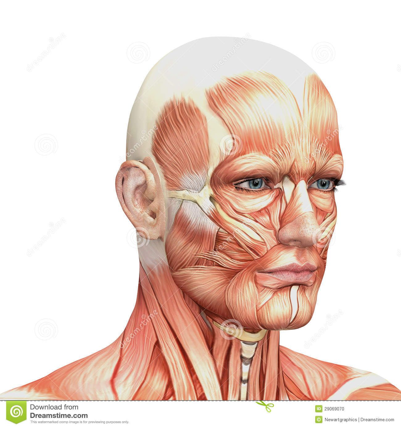 Image Result For Human Face Muscles