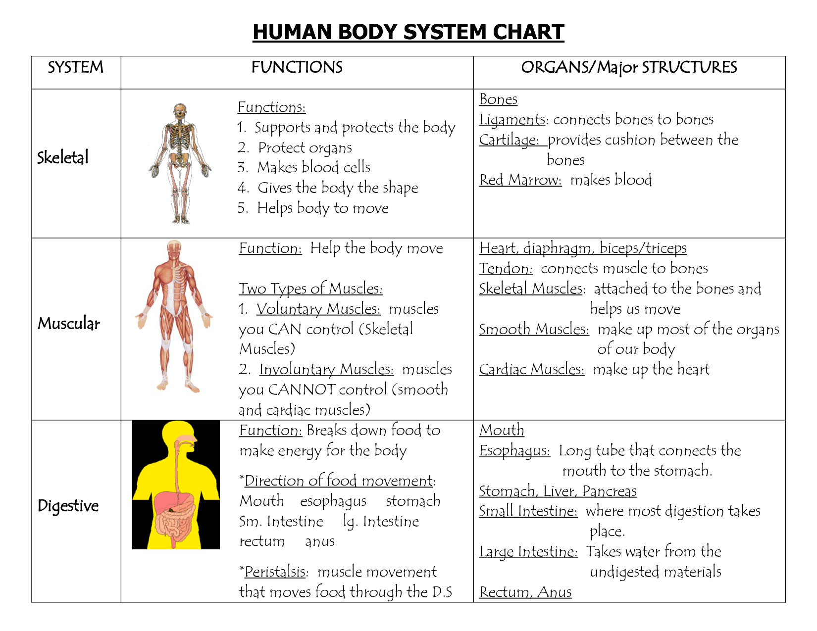 Functions Of Human Body Systems