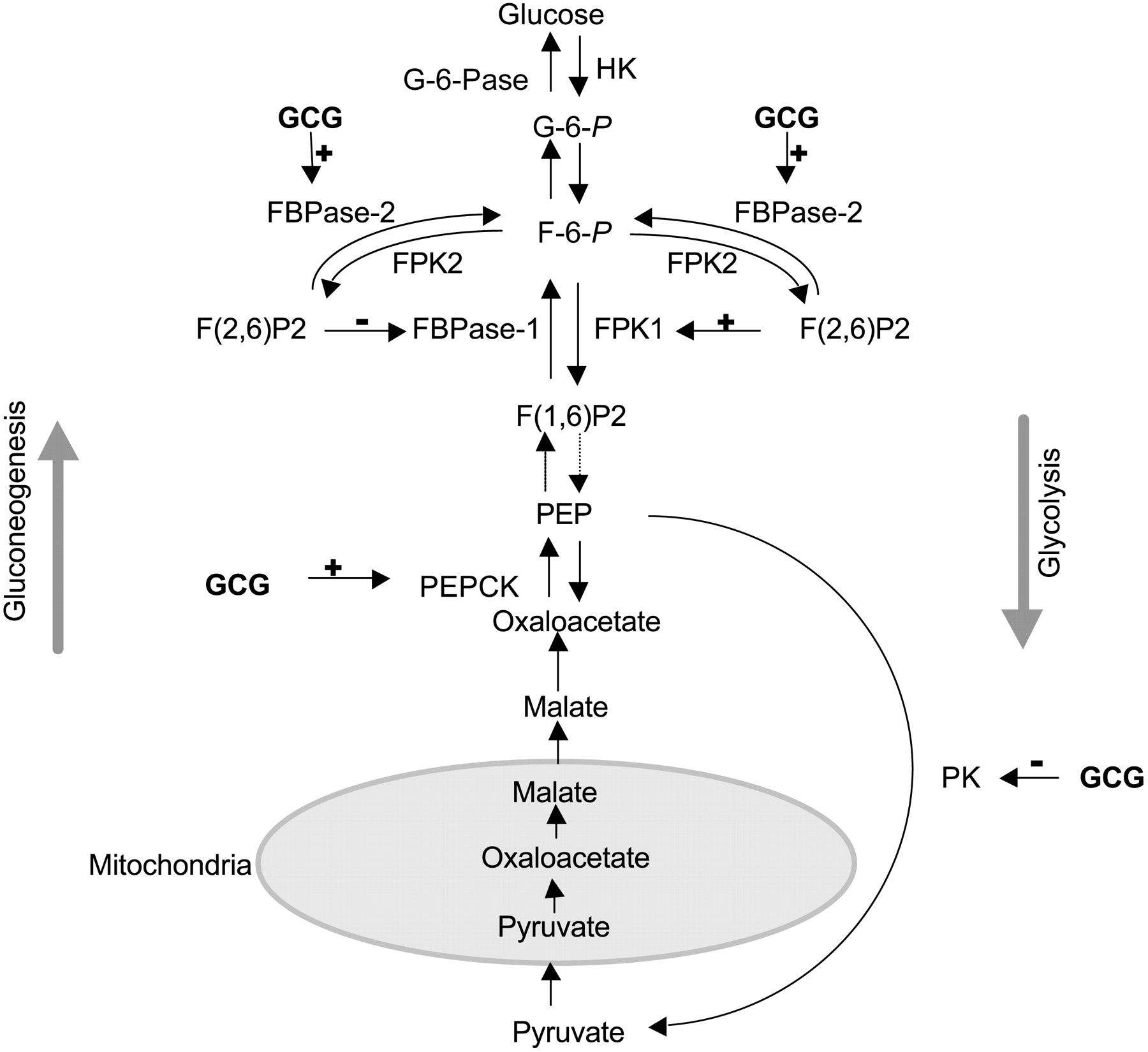 Glucose Metabolism Diagram Glucagon And Regulation Of