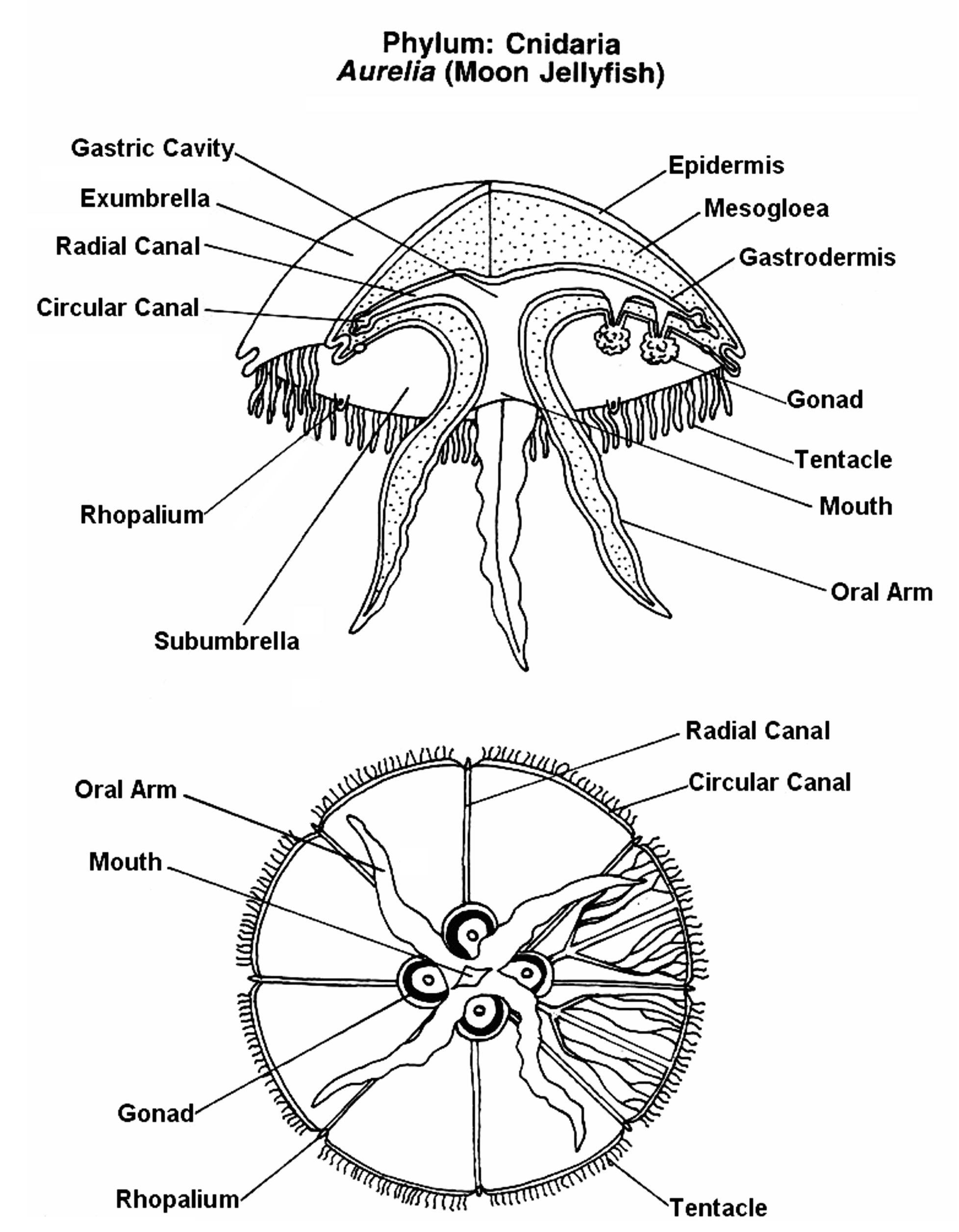 Jellyfish Body Parts