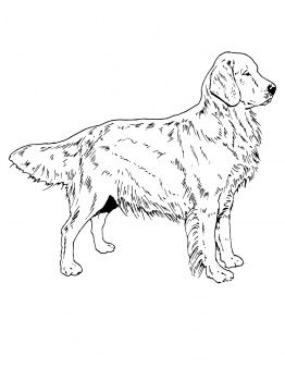 Dog Color Pages Printable Golden Retriever Dog Coloring