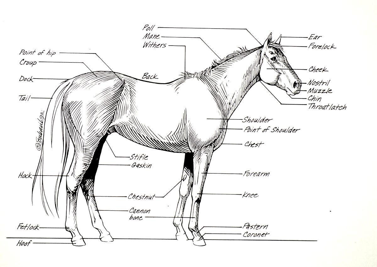 Worksheet Horse Anatomy Worksheet Grass Fedjp Worksheet