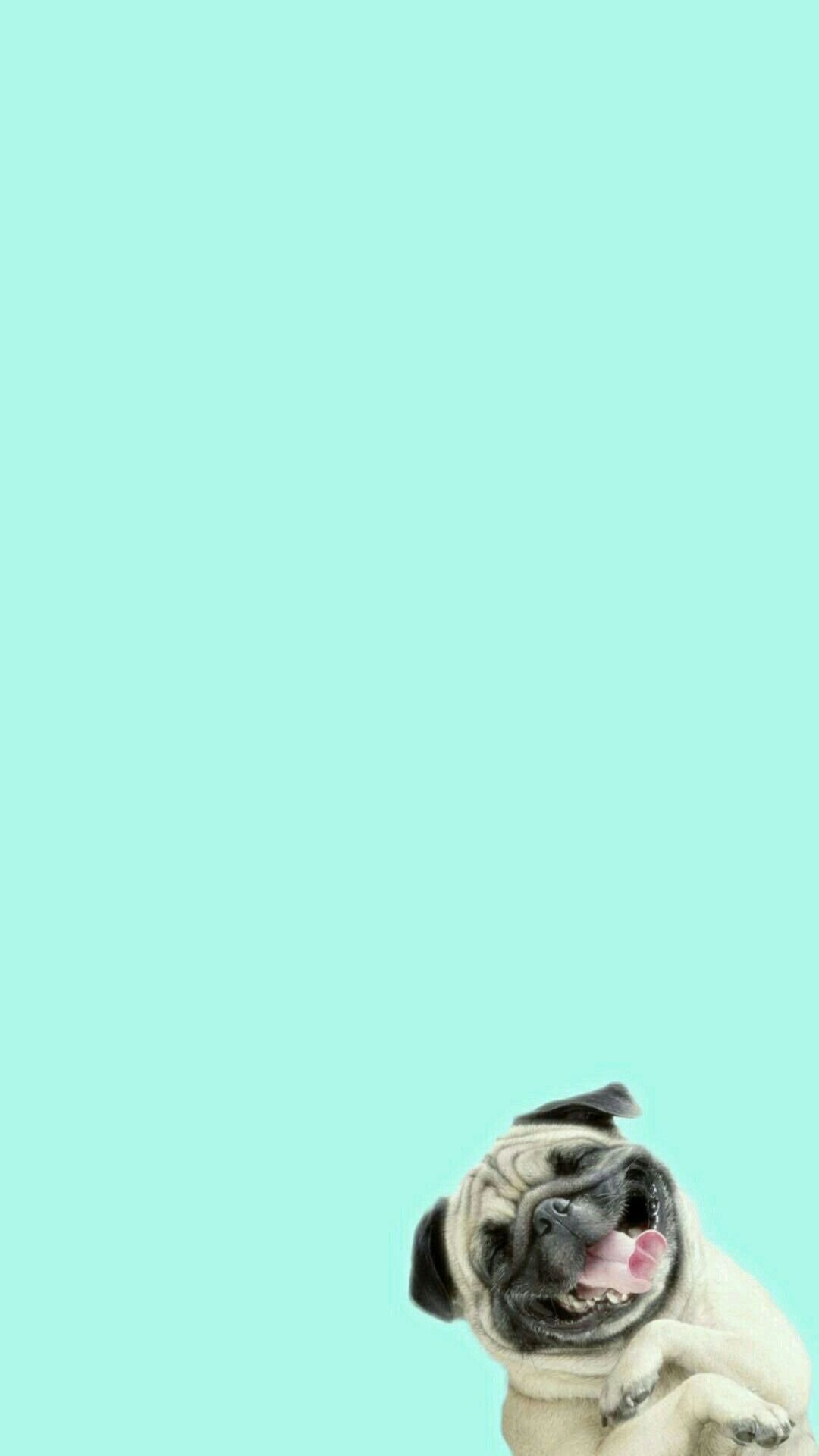 funny pug laughing hard at you iphone 6+ hd wallpaper | iphone