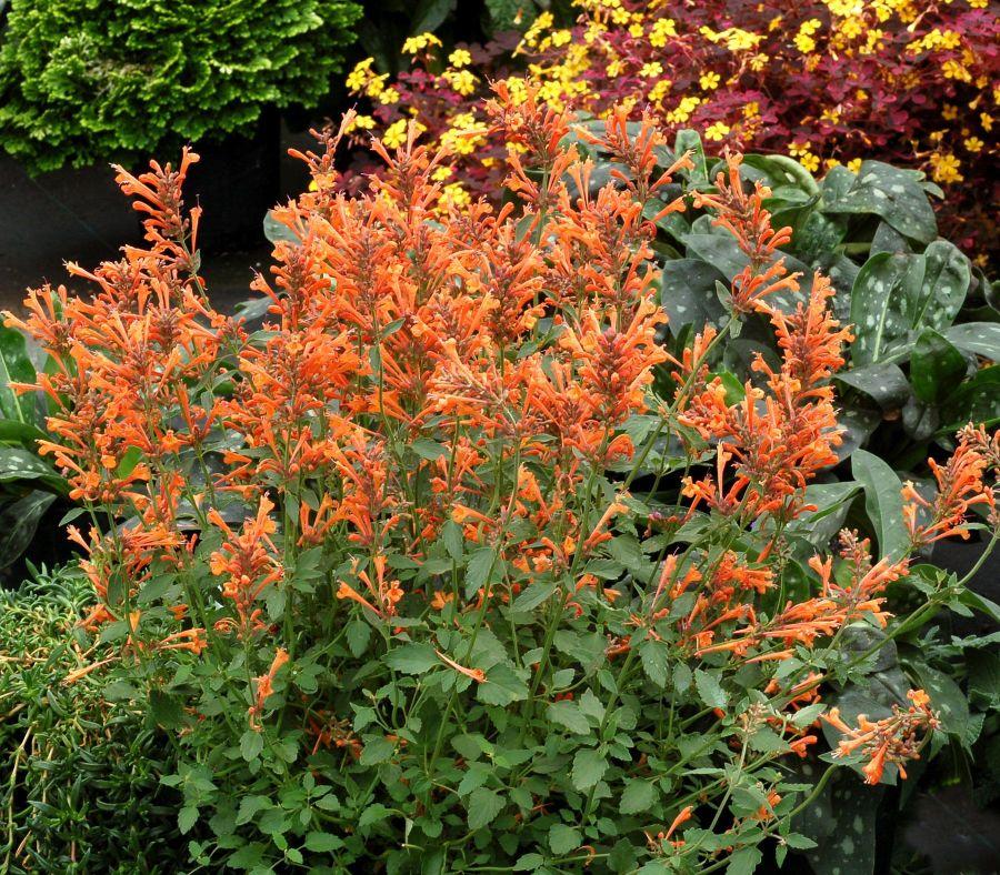 Image result for hyssops orange