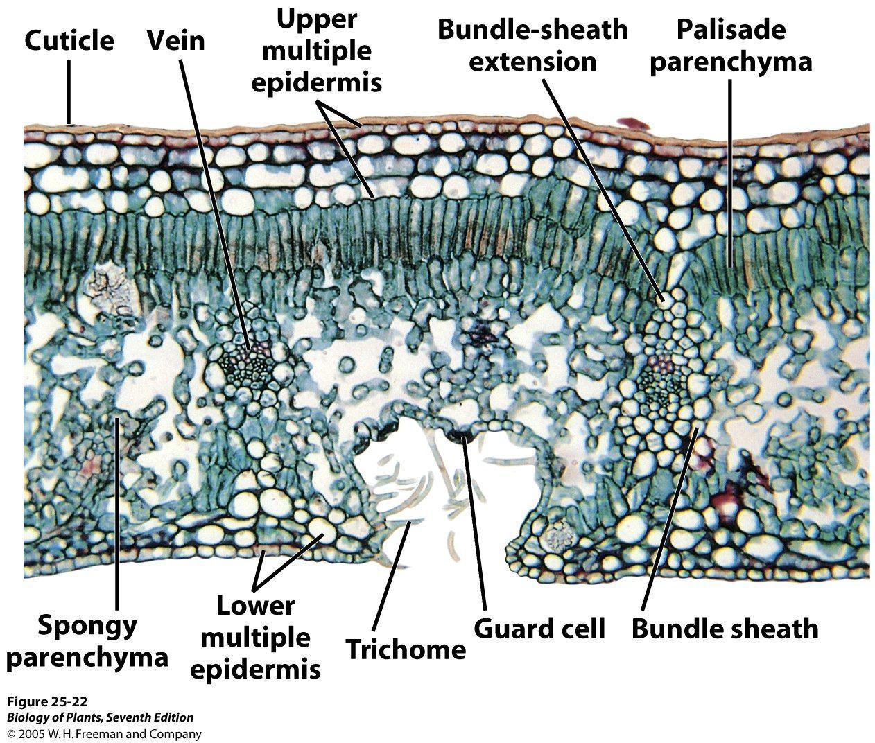 Xerophytic Leaf C S Plant Anatomy Ii