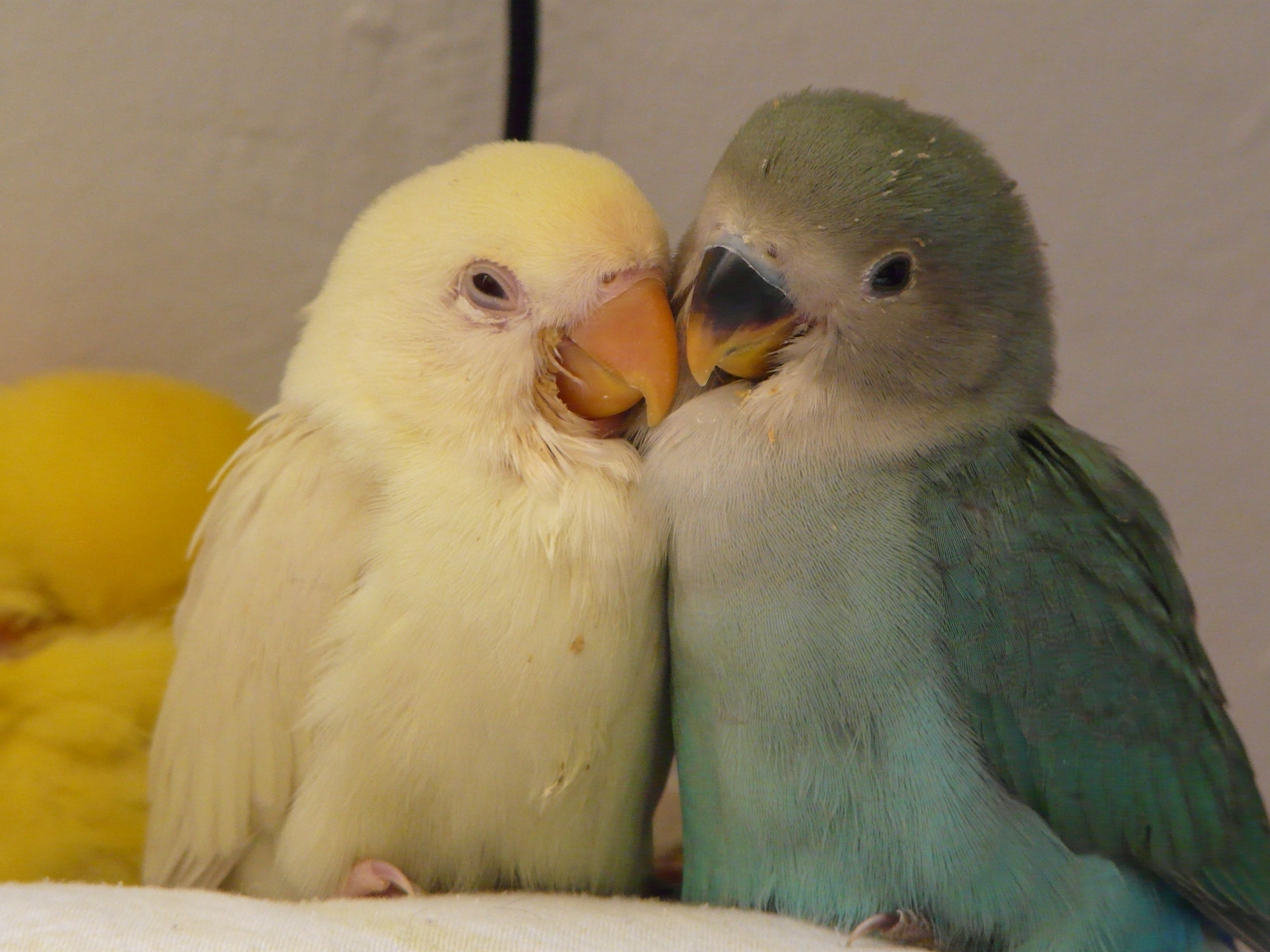 Handfed baby lovebirds yellow white and blue Peque±os aga is