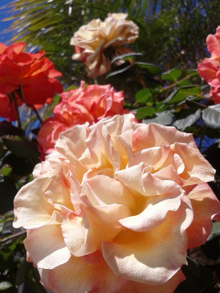 Multicolored blooms on a rose tree Exquisite Roses of Every Color