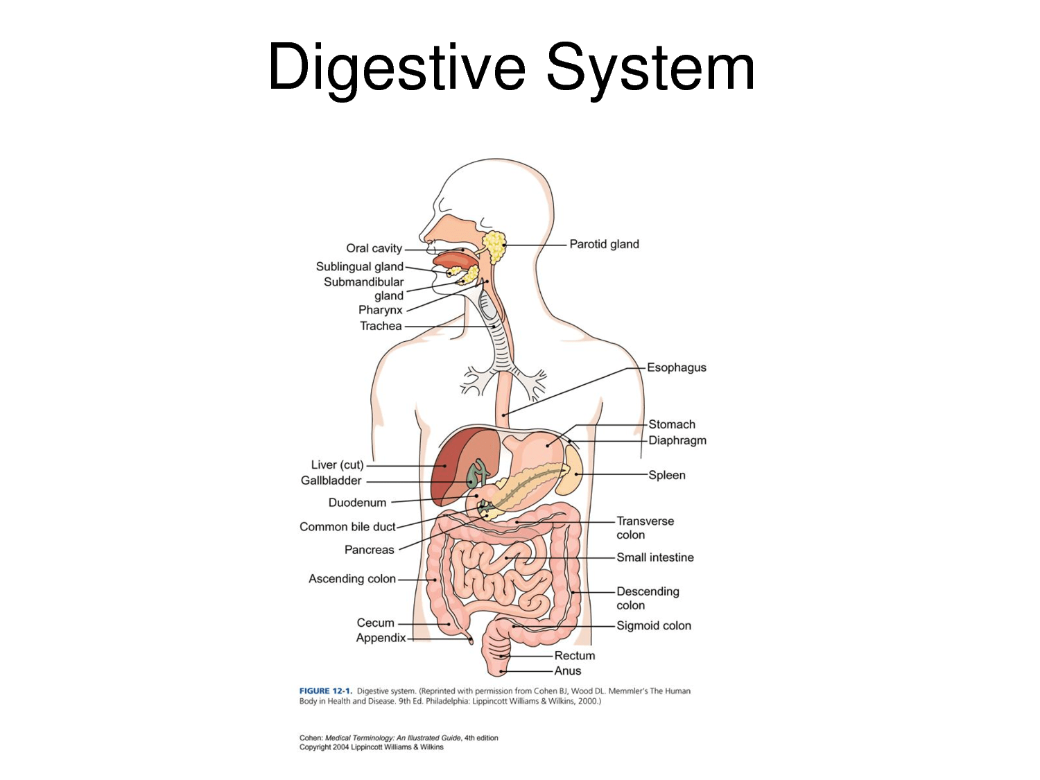 Human Digestive System Labeled