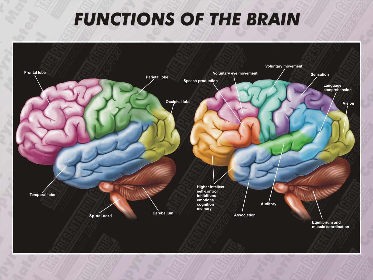 1 Ha Functions Of The Brain