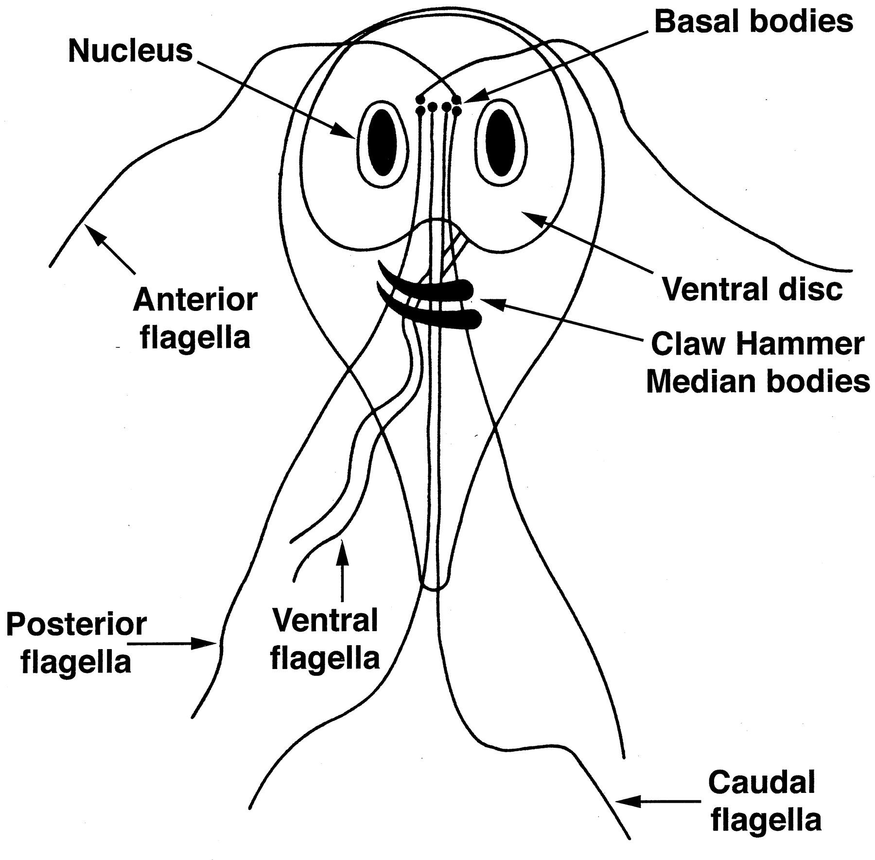 This Is An Image Of Giardia Giardiasis Is A Disease In Your Intestince With Parasites If You