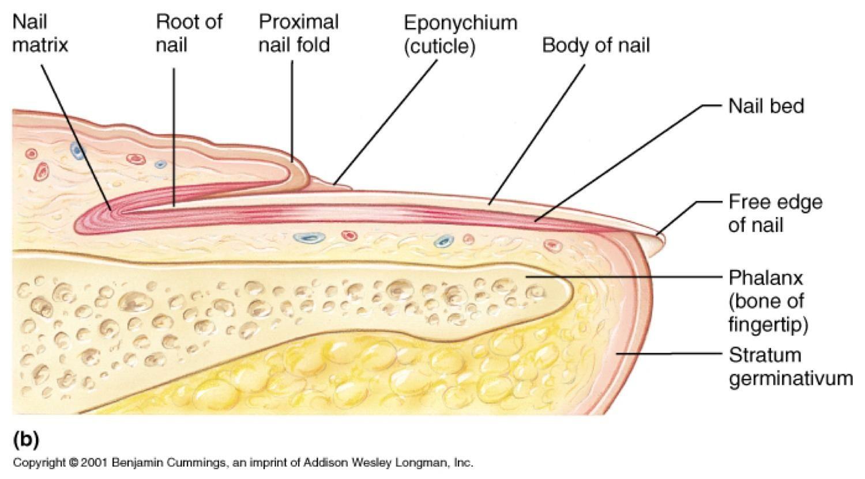 Nail Diagram