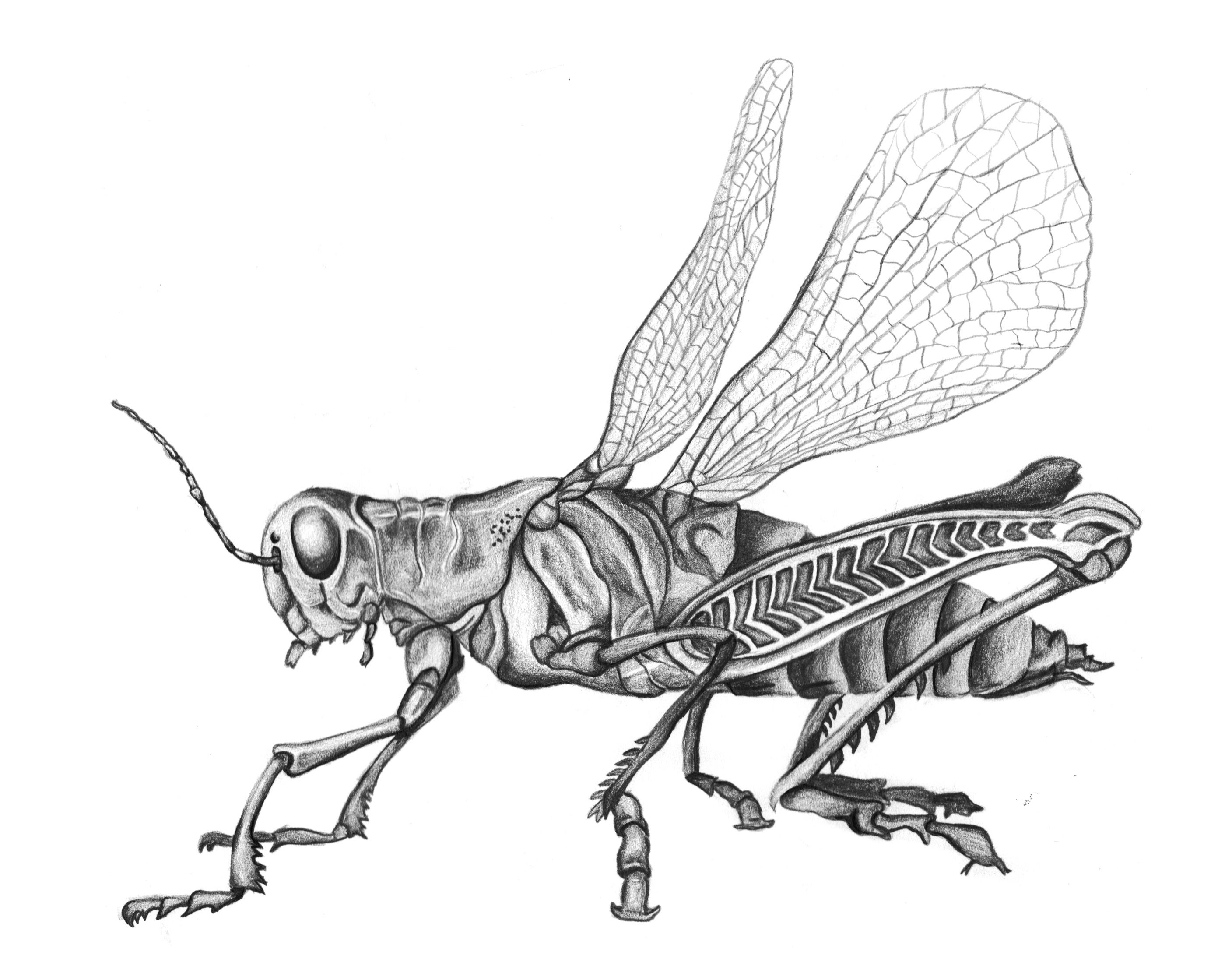 Grasshopper Pencil Drawing Black And White Insect Sketch