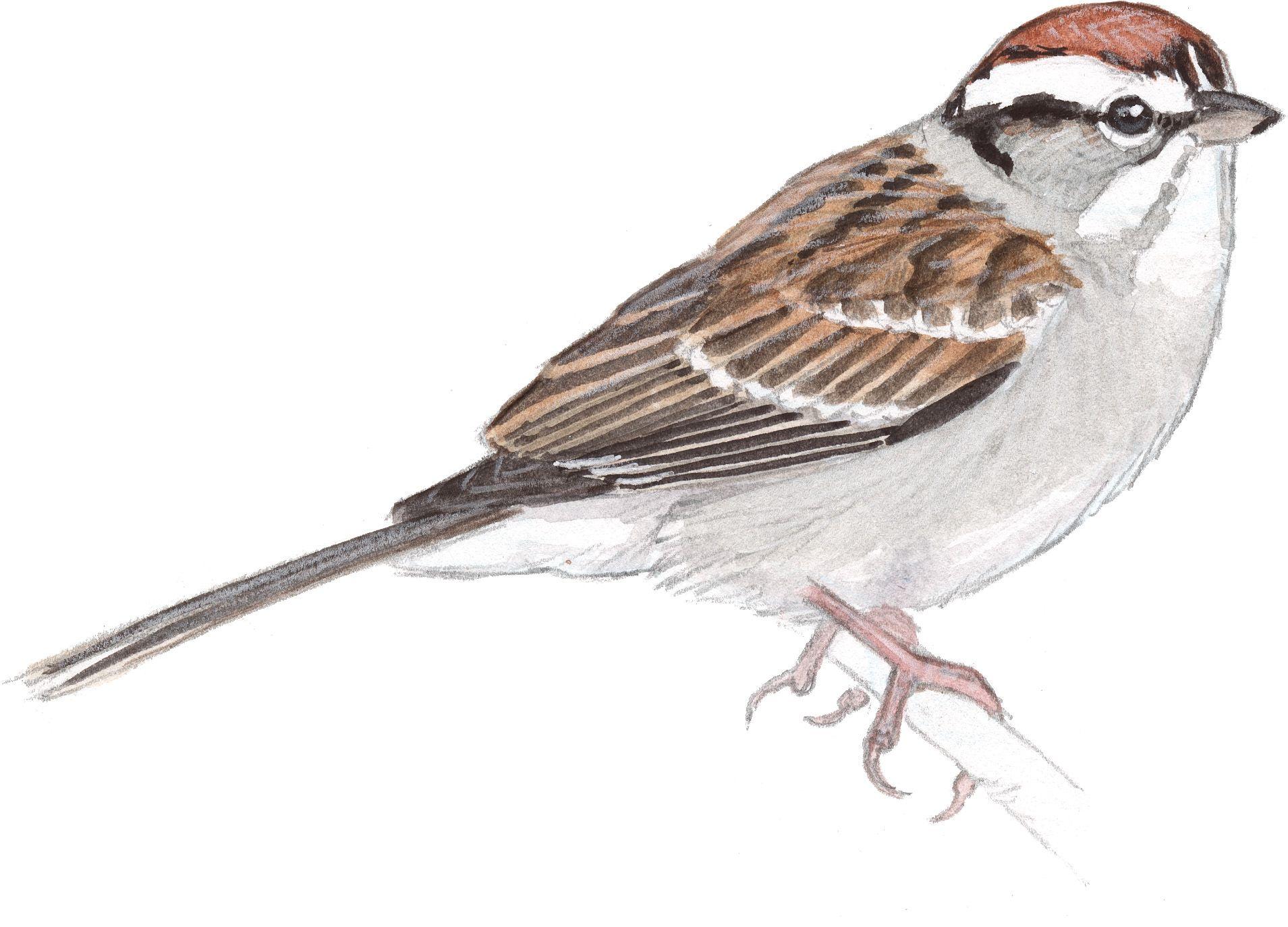Flying Sparrow Sketch