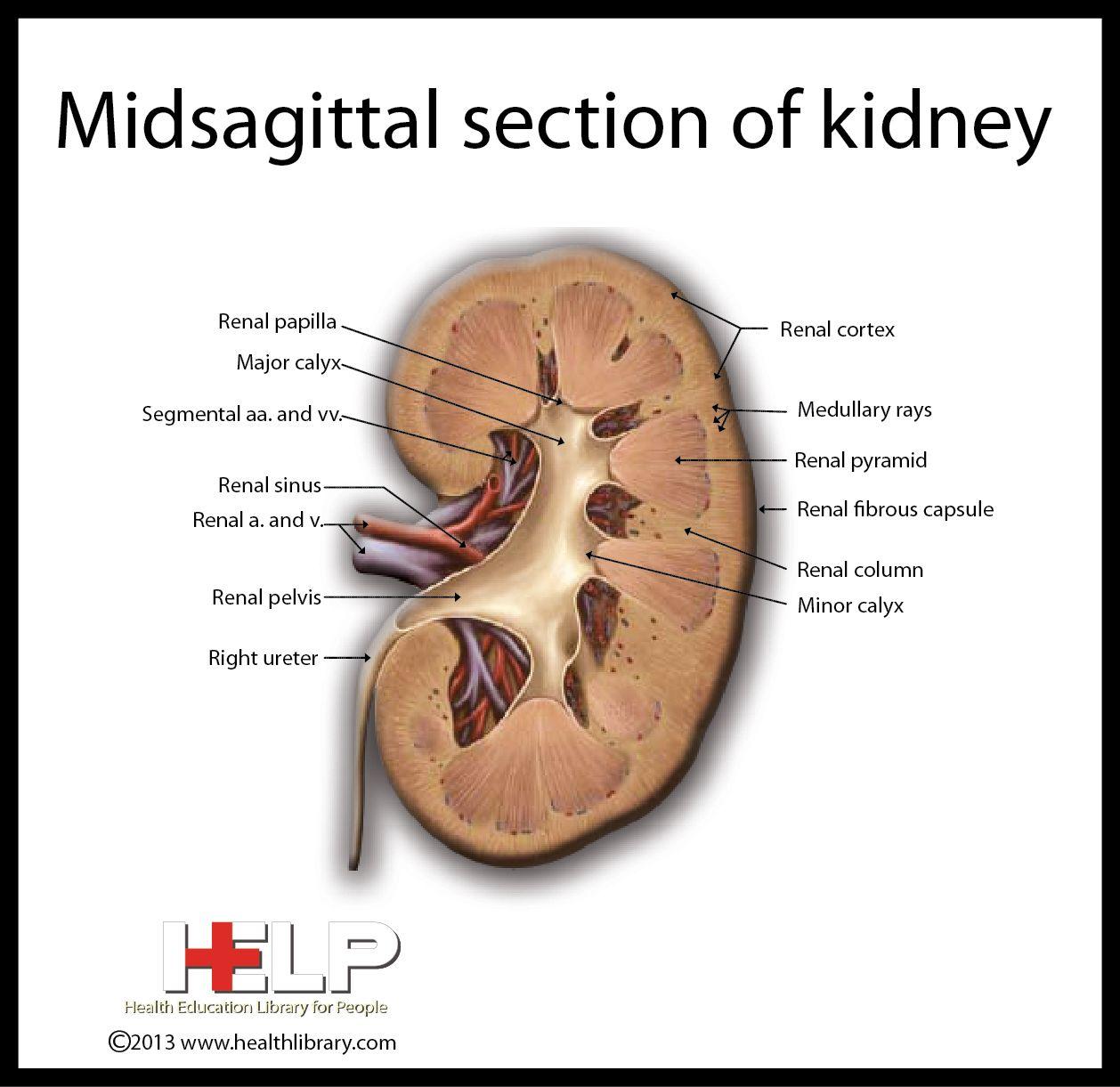 Midsagittal Section Of Kidney