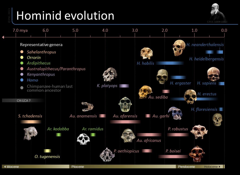 Timeline Of Hominid Evolution Infographic