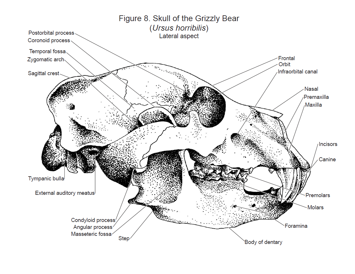 Grizzly Bear Skull By Flutterguy
