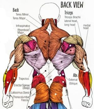 Human Body Muscle Anatomy Lower Back View Muscle Pain