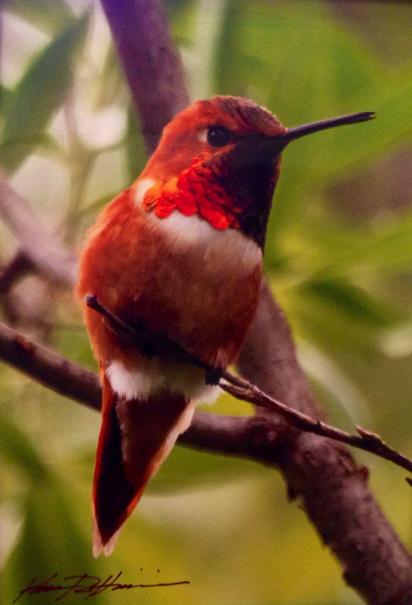 Rufous Hummingbird Blackbird Island Leavenworth Wa