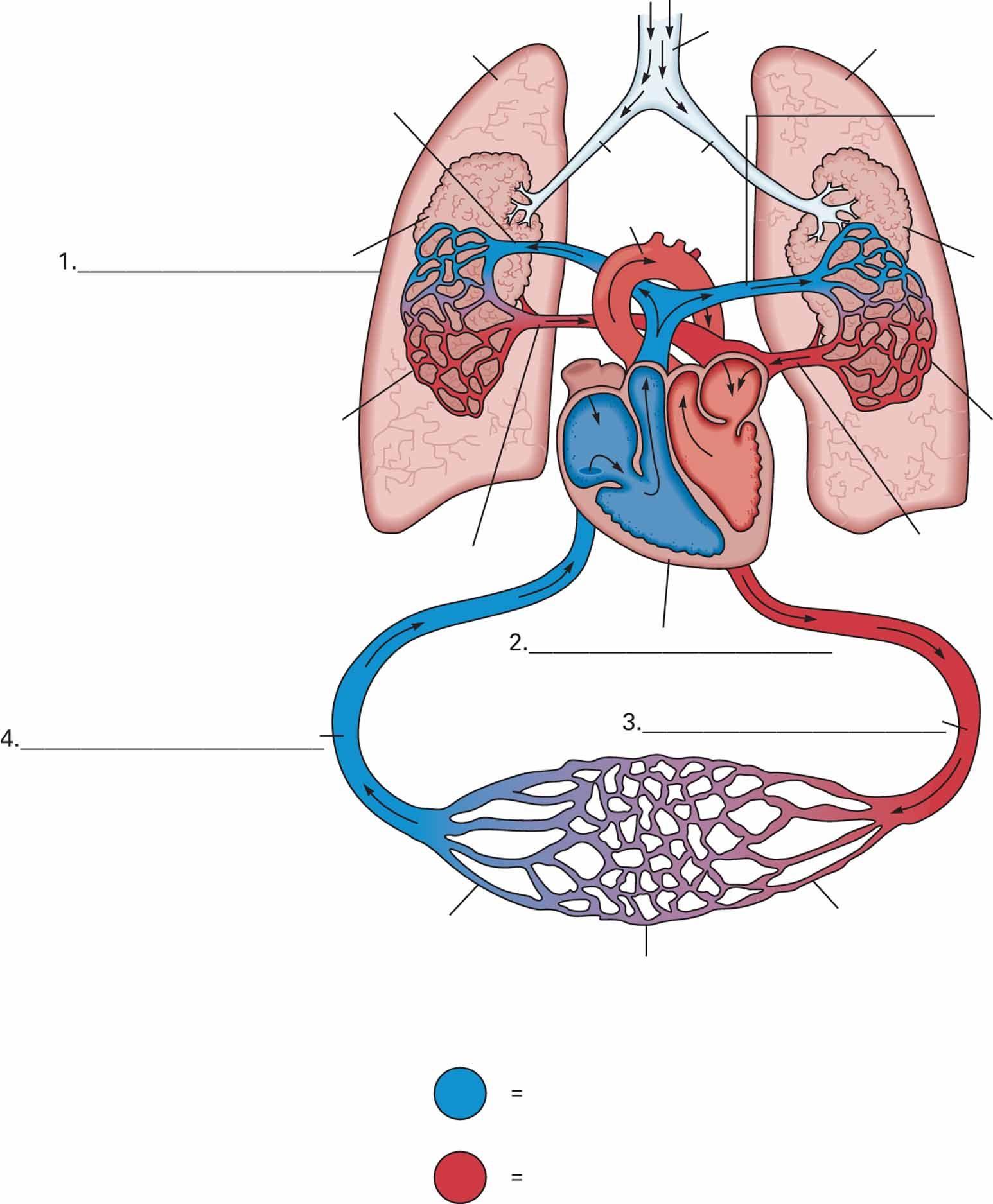 Diagram Of Heart Arteries Veins Arterioles Venules And