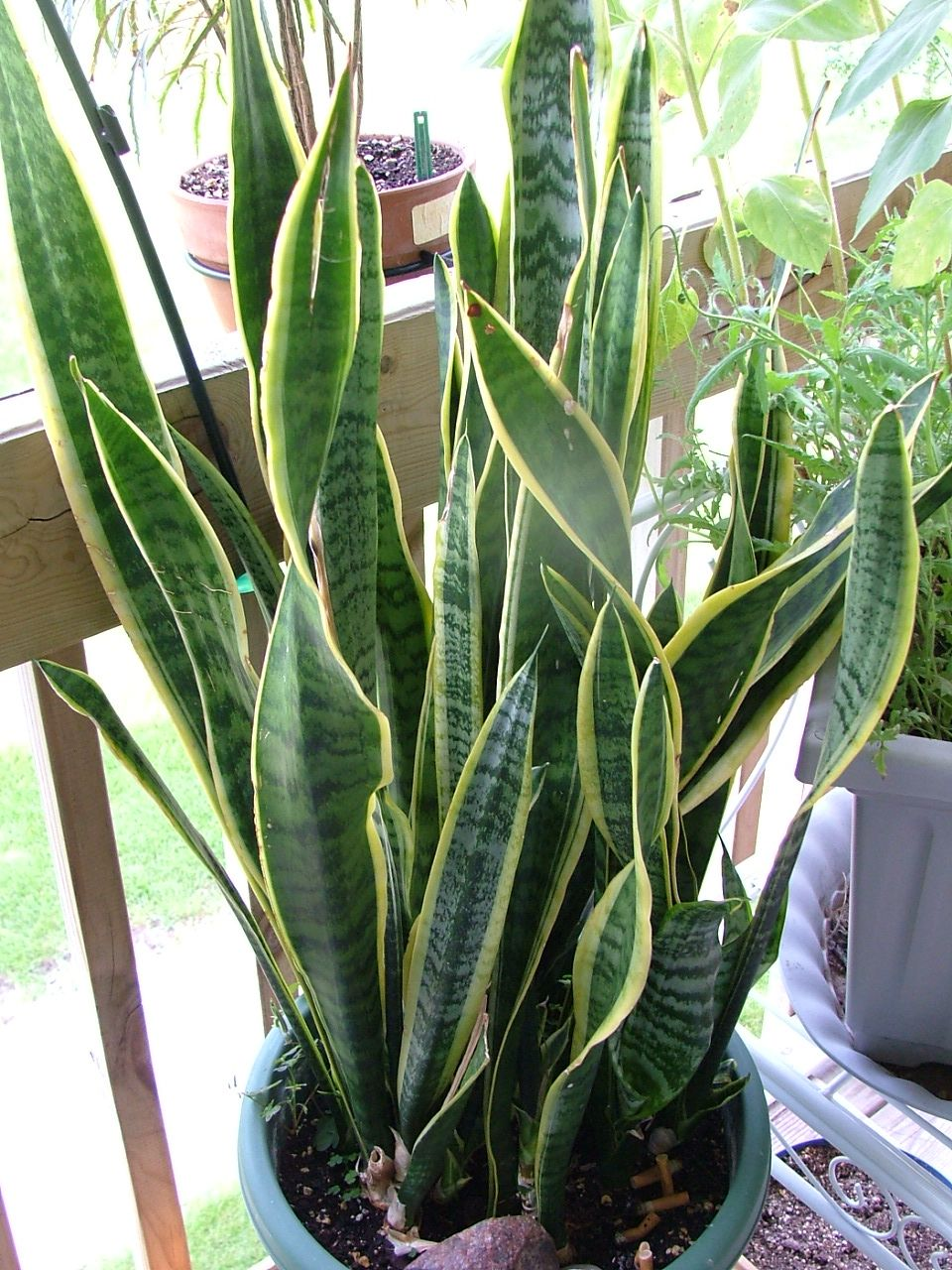 Best Kitchen Gallery: Socialpays Lobamarie Flowers Pinterest Snake Plant Tropical of Tropical House Plant Care  on rachelxblog.com
