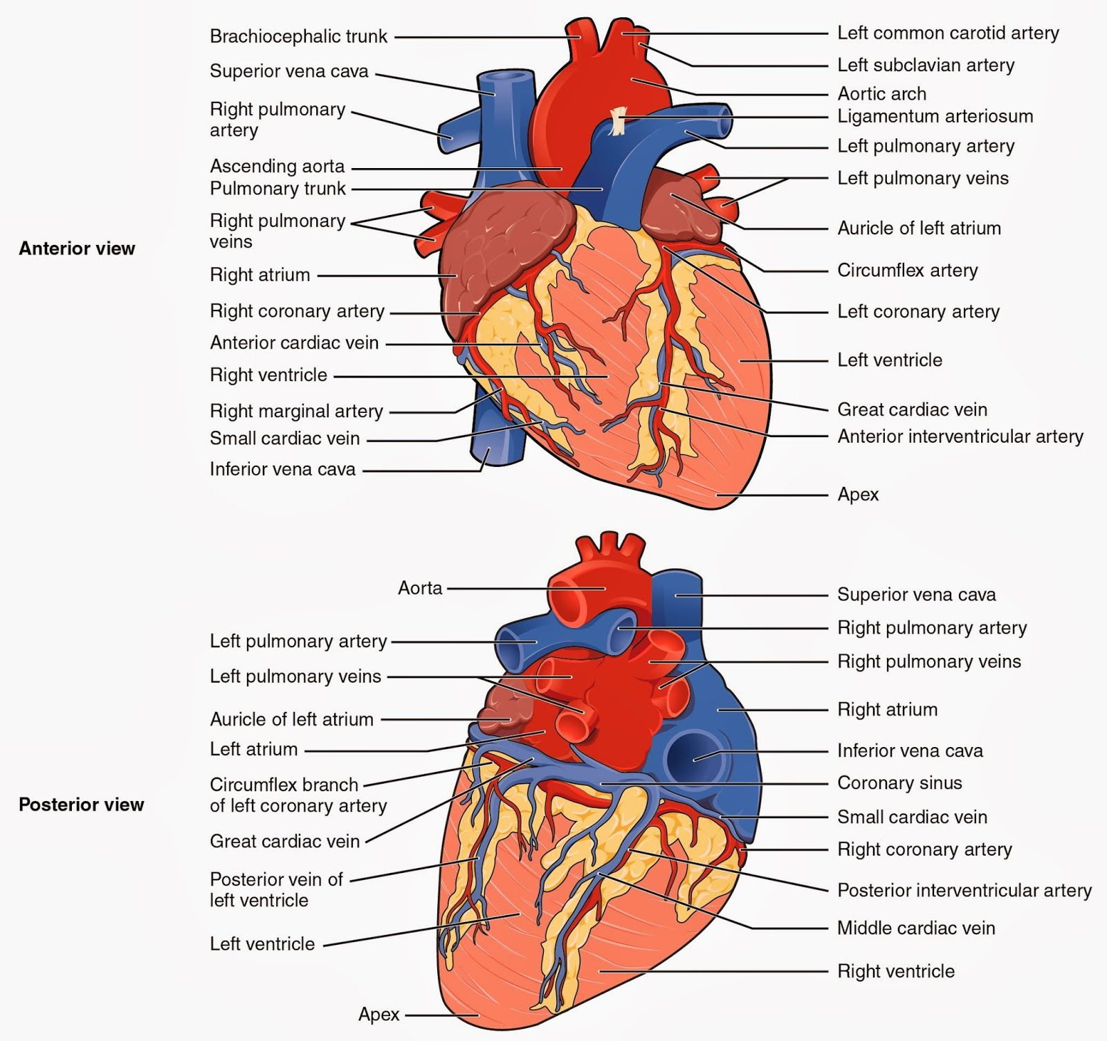 Labeled Diagram Of The Heart Pig Heart Dissection Handout