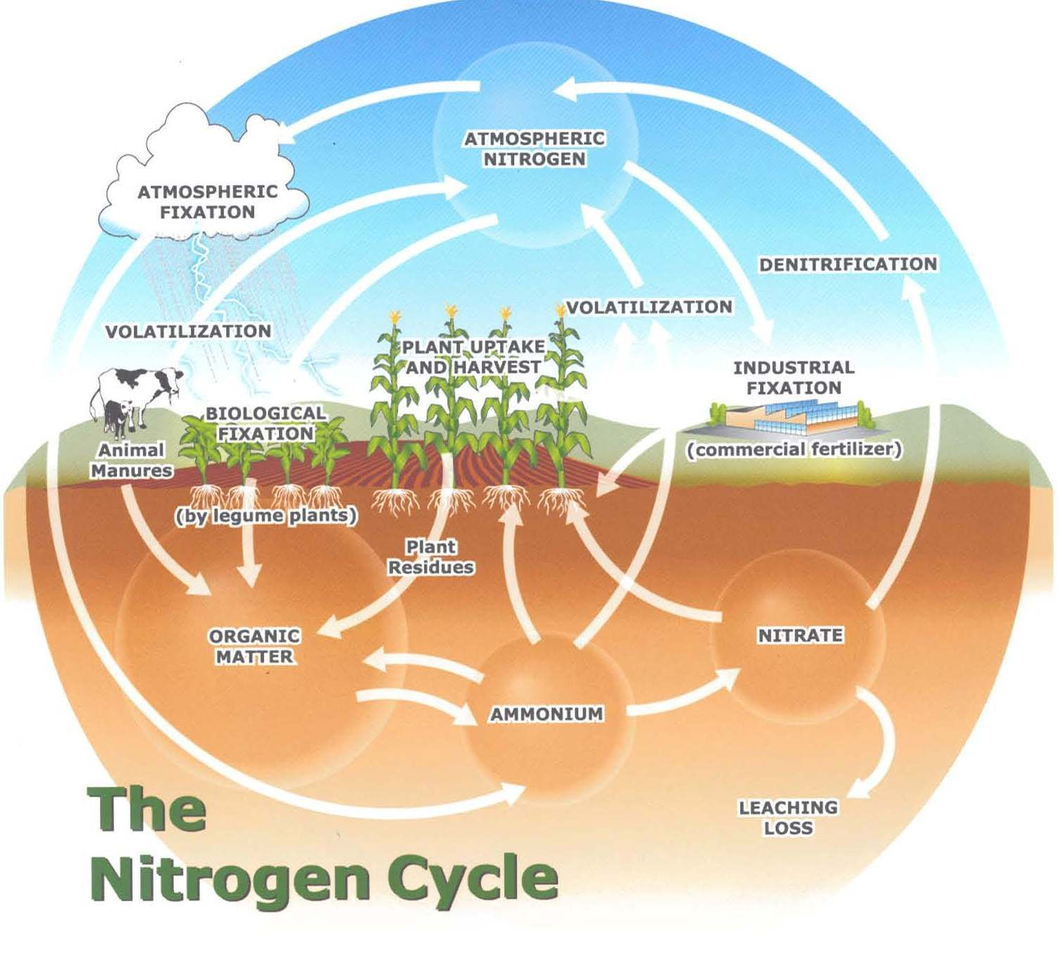 Nitrogen Cycle Sources Of Atmospheric Nitrogen Decay Of Animal Plant Matter Sinks For