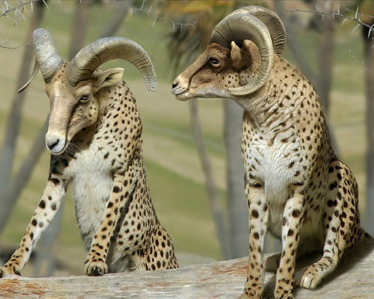 Cheetah Lion Hybrid Google Search Funny Pinterest