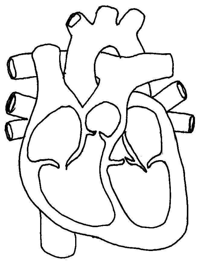 Cardiovascular System Chambers Of The Heart Coloring Sheet