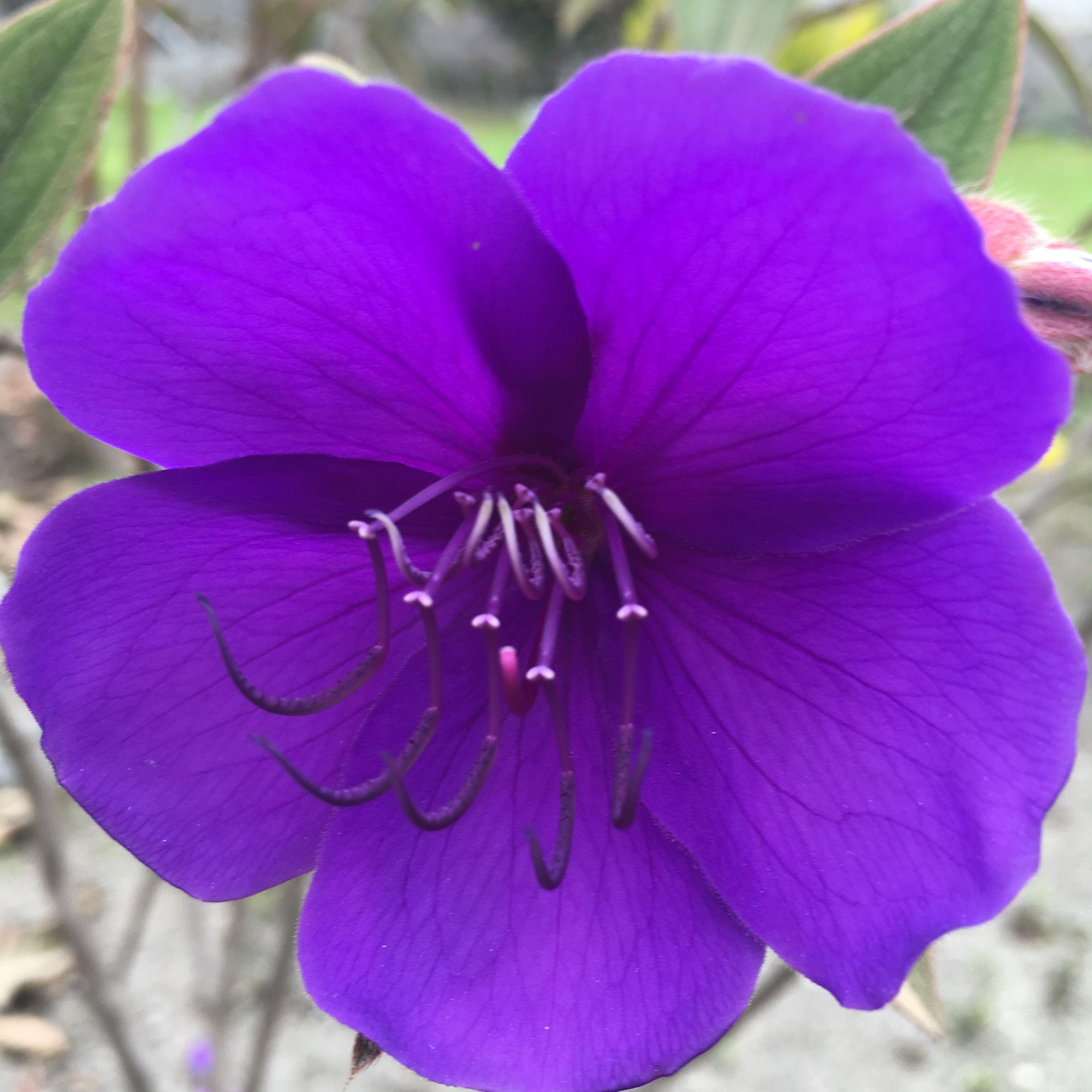 Flor pºrpura San Antonio de Pichincha Ecuador