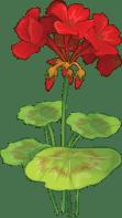 Image result for geranium clipart