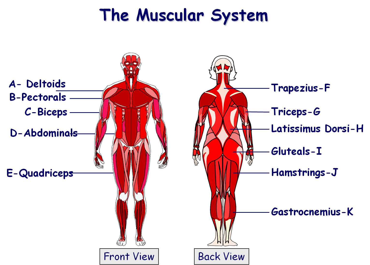 Muscular System