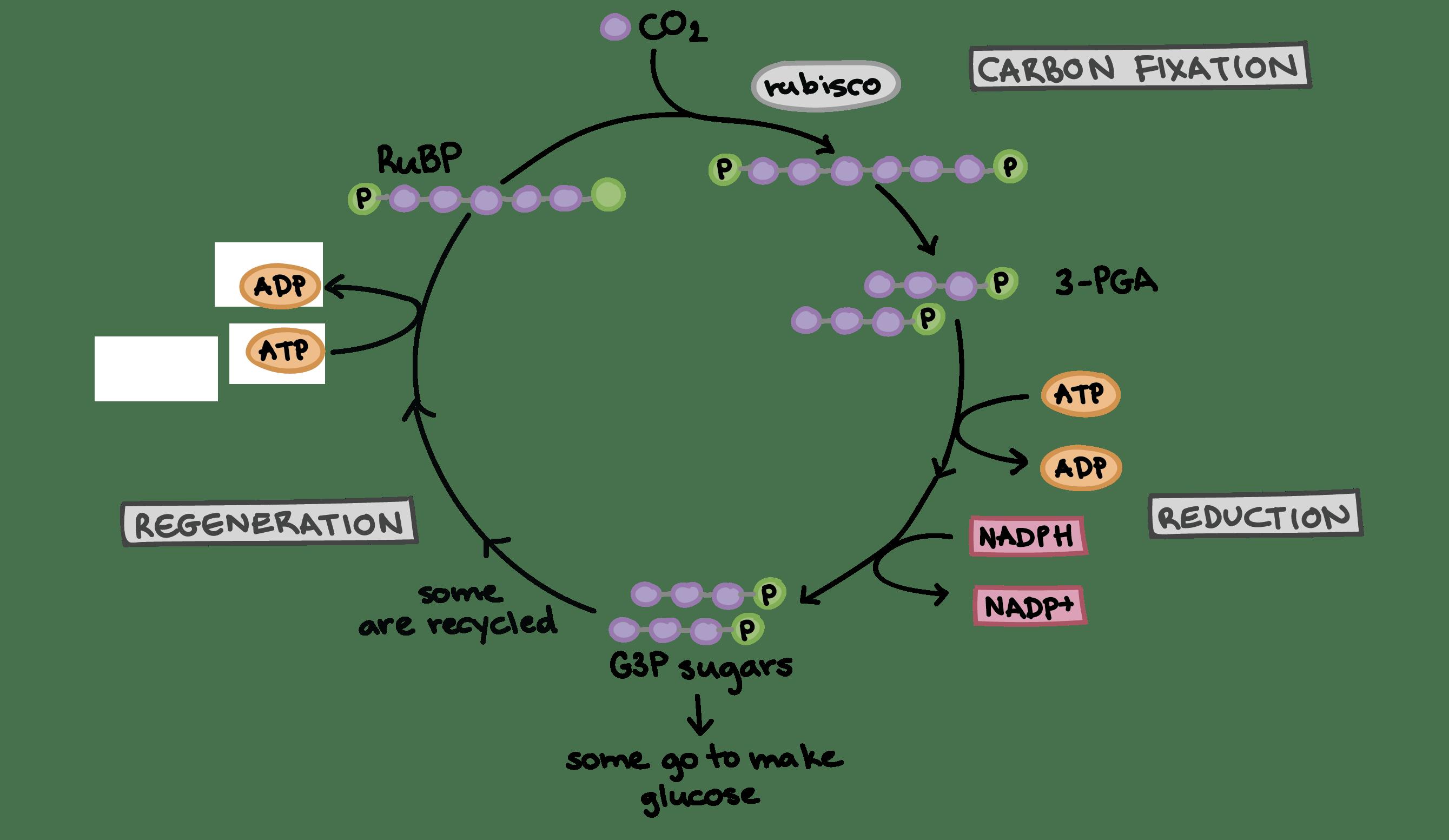 1 The Calvin Cycle