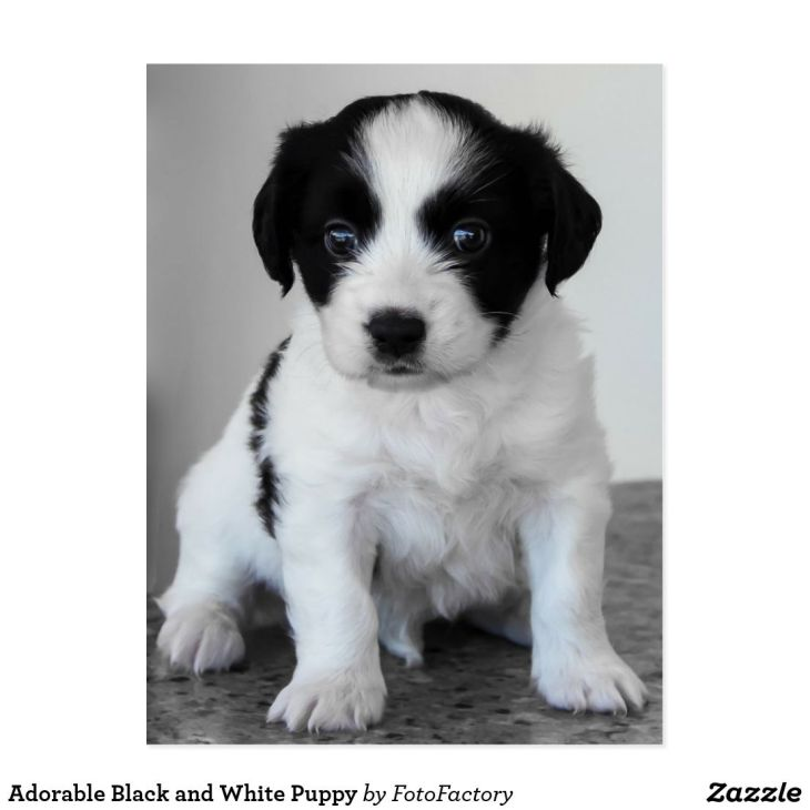 Adorable Black and White Puppy Postcard Dogs and Puppies Products