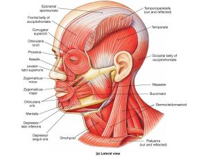 Head and neck muscle diagram | Anatomy for Sculpture  The