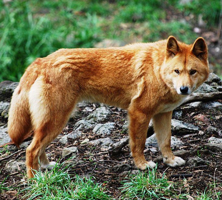 Ium fairly certain this is a hybrid wolfdog as Iuve never seen a