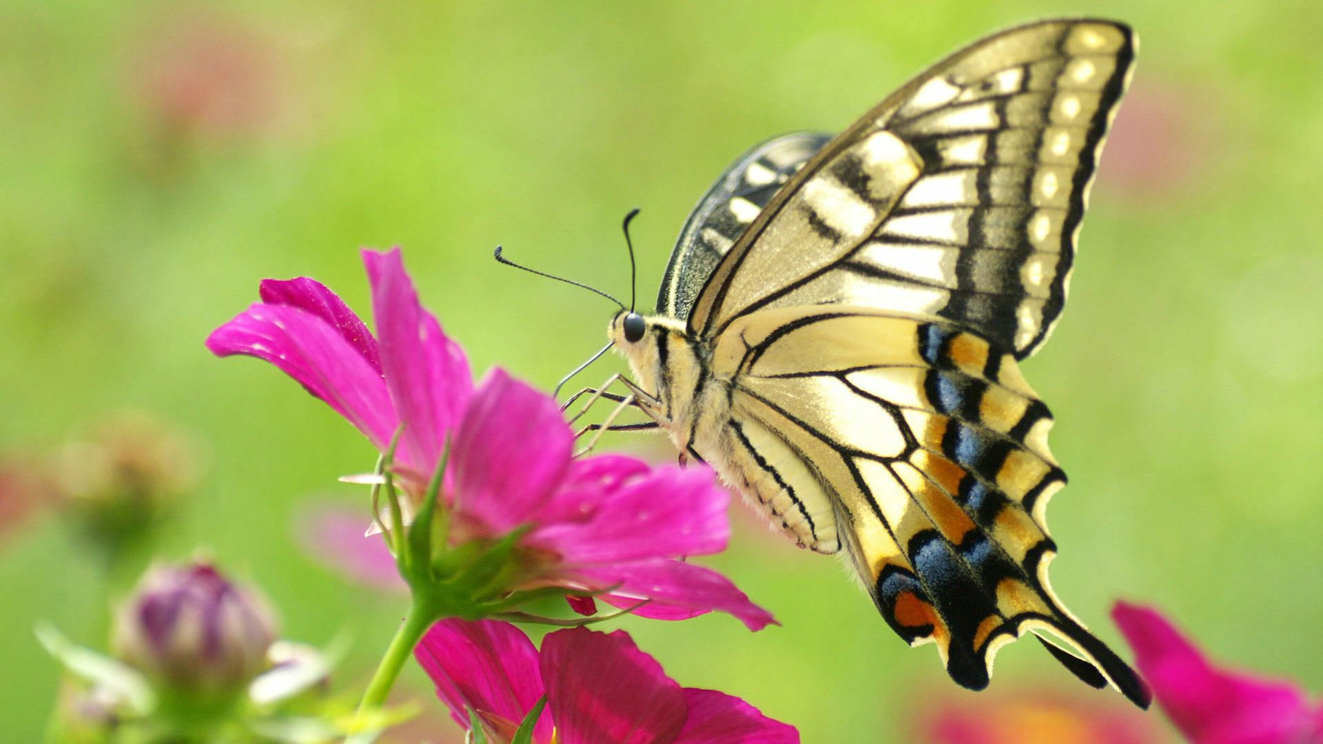 http://www.hotcurrentaffairs/butterfly-flower-wallpaper