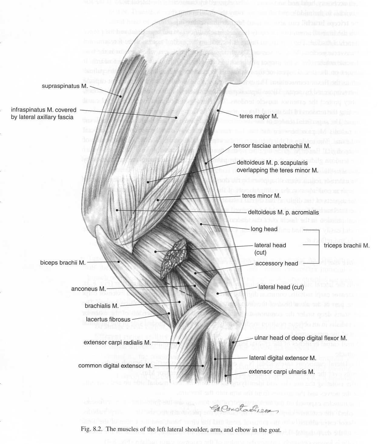 Goat Leg Muscles Image9