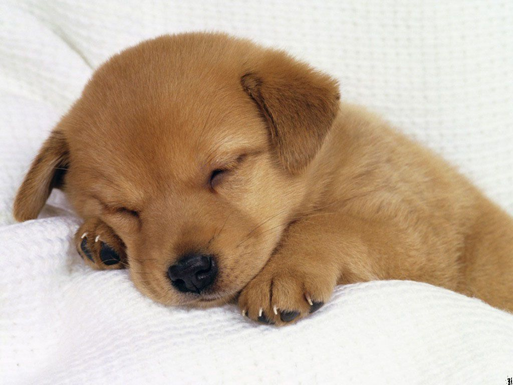 pitchers of puppies | cute-puppy-dogs-puppies-pictures-91